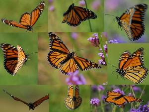 flickr-butterfly-Dwight_Sipler